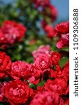 Stock photo red roses on sunny sky background background defocus 1109306888