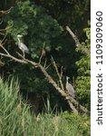 grey heron  ardea cinerea       ... | Shutterstock . vector #1109309060