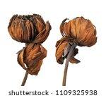 Dried Lotus Flower  Tropical...