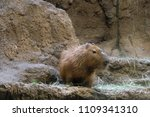 capybara is waiting to see his... | Shutterstock . vector #1109341310