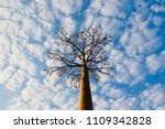 baobab tree with cloudy blue... | Shutterstock . vector #1109342828