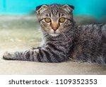 scottish fold cat | Shutterstock . vector #1109352353
