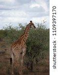 giraffe or giraffa  with back...   Shutterstock . vector #1109397170