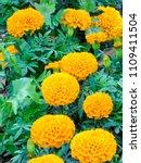 blossoming flowers of orange... | Shutterstock . vector #1109411504