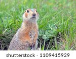 the gophers climbed out of the... | Shutterstock . vector #1109415929