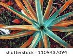 vivid pineapple plant top view. ... | Shutterstock . vector #1109437094