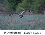 Great Grey Owl In Its Natural...