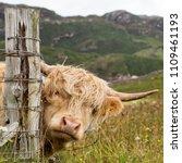 Scottish Highlander In Scotland