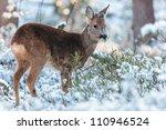 Roe Deer Grazing In A Winter...