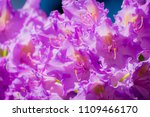 azalea rhododendron riga babite ... | Shutterstock . vector #1109466170