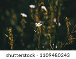 Small White Flowers Of...