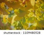ginkgo biloba foliage with... | Shutterstock . vector #1109480528