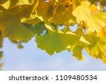 ginkgo bilova foliage close up  ... | Shutterstock . vector #1109480534