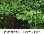 ginkgo bilova foliage  | Shutterstock . vector #1109481494