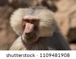 baboons in the wild | Shutterstock . vector #1109481908