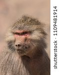 baboons in the wild | Shutterstock . vector #1109481914