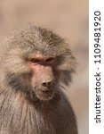 baboons in the wild | Shutterstock . vector #1109481920