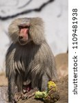 baboons in the wild | Shutterstock . vector #1109481938