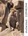 baboons in the wild | Shutterstock . vector #1109481944