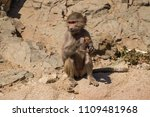 baboons in the wild | Shutterstock . vector #1109481968