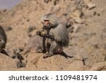 baboons in the wild | Shutterstock . vector #1109481974