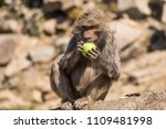 baboons in the wild | Shutterstock . vector #1109481998