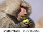 baboons in the wild | Shutterstock . vector #1109482058
