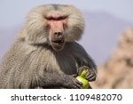 baboons in the wild | Shutterstock . vector #1109482070