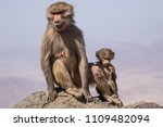 baboons in the wild | Shutterstock . vector #1109482094