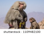 baboons in the wild | Shutterstock . vector #1109482100