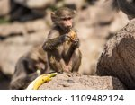 baboons in the wild | Shutterstock . vector #1109482124
