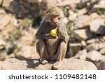baboons in the wild | Shutterstock . vector #1109482148