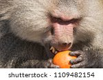 baboons in the wild | Shutterstock . vector #1109482154