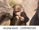 baboons in the wild | Shutterstock . vector #1109482160