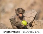 baboons in the wild | Shutterstock . vector #1109482178