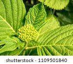 young green blossoms of  white... | Shutterstock . vector #1109501840