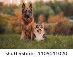 Portrait Of A German Shepherd...