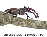 stag beetle on dry branch of... | Shutterstock . vector #1109537480