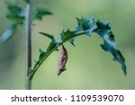 Small Tortoiseshell  Aglais...