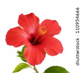 Red Hibiscus Flower Head Over...