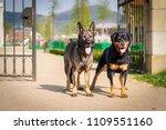 german shepherd an rottwailer... | Shutterstock . vector #1109551160