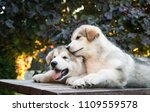 Stock photo two happy alaskan malamute puppies posing together super cute puppies posing 1109559578