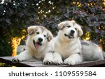 Stock photo two happy alaskan malamute puppies posing together super cute puppies posing 1109559584