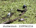 spotted at corkscrew swamp... | Shutterstock . vector #1109561216