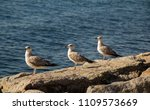 Seagulls Are On The Rock By Th...