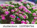 pink kalanchoe flower blossoms... | Shutterstock . vector #1109584766