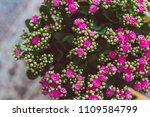 pink flower blossoms kalanchoe... | Shutterstock . vector #1109584799