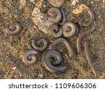 group of sleeping millipedes...   Shutterstock . vector #1109606306