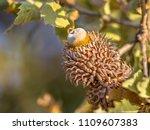 acorn of austrian oak  quercus... | Shutterstock . vector #1109607383