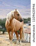 wild horses of nevada  wild...   Shutterstock . vector #1109620946